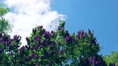 syringa : Time Lapse: Common Lilac, Syringa Vulgaris, Against A Blue Cloudy Sky Stock Footage