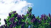kvetoucí : Time Lapse Zoom Out: Common Lilac, Syringa Vulgaris, Against A Blue Cloudy Sky Dostupné videozáznamy