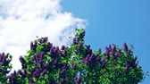 leylak : Time Lapse: Common Lilac, Syringa Vulgaris, Against A Blue Cloudy Sky Stok Video