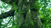 kastanie : Close-up of The Trunk of A Horse-Chestnut Tree, Aesculus hippocastanum, Leaves Moving In The Wind Stock Footage
