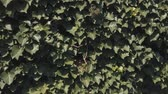 hera : Leaves of European Ivy, Hedera helix, At A Stone Wall, Pan Shot