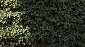 hera : Leaves of European Ivy, Hedera helix, At A Stone Wall, Fluttering In The Wind