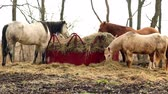 сарай : Horses Feed Rural Horse Ranch Livestock Стоковые видеозаписи