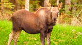 final : Wild Moose Cow Calf Animal Wildlife Marsh Alaska Greenbelt