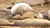 sexo : Large Elephant Seal Male Chooses Female During Mating Season Stock Footage