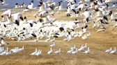 stěhovavý : Snow Geese Flock Together Spring Migration Wild Birds