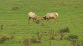 оленьи рога : Young Male Elk Battle For Territory Pacific California Coast Wildlife