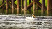 stěhovavý : White Wild Pelican Bird Yellowstone River Animal Wildlife
