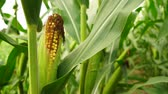 kernels : Ear of Sweet Corn Farm Field Ripe Harvest Fresh Food