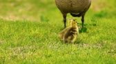 pintos : Baby Geese Peck Young Animal Waterfowl Birds Fighting Playing