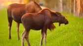 Wild Moose Cow Calf Animal Wildlife Marsh Alaska Greenbelt