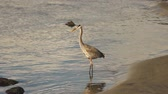 aves : A Big Blue Heron Bird Hunts the Riverbank for Fish and Food