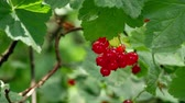 groselha : Red Ribes rubrum berries Redcurrant 4k