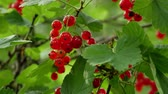 red currant : Red Ribes rubrum berries Redcurrant 4k