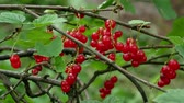 время приема пищи : Red Ribes rubrum berries Redcurrant 4k