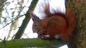 nozes : Red Squirell eating walnut 4k