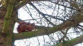 Red Squirell eating walnut 4k