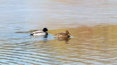 kaczka : Ducks Swim on lake Close Up 4k