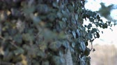 ladrão : Vines Blowing in the wind on a tree Stock Footage