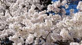 felirat : Beauty of cherry blossom,The limb swayed by the wind