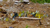 Group of butterflies puddling on the ground and flying in nature, Butterflies swarm eats minerals in Ban Krang Camp, Kaeng Krachan National Park at Phetchaburi,Thailand. Wideo