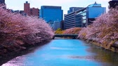 horta : Sakura blossoms fell on the strings in Tokyo, Japan. Stock Footage