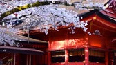 Cherry Blossoms of ShrineFUJISAN HONGU SENGENTAISHA  Fujinomiya City Japan