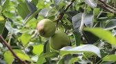 organic : pear tree branch with fruits