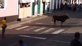 tourada : Tourada a corda – Bullfighting on a rope in Sao Mateus da Calheta on Terceira Island, Azores, Portugal