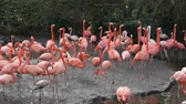 galapagos : island full of american flamingos making sound, big group of colorful tropical birds
