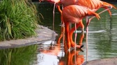 closeup of caribbean flamingos standing in a lake drinking water, flamboyant bird from America