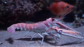 closeup of a norway lobster walking on the bottom of the aquarium, popular pet in aquaculture