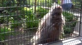 Funny north american porcupine performing a dance, caged common porcupine dancing