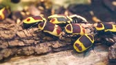 macro closeup of a group of sun beetles on a tree branch, tropical scarab beetle specie from Africa
