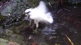 closeup of a bali myna cleaning its self by taking a bath in the water, critically endangered bird specie from Bali, Indonesia