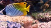 closeup of a threadfin butterfly fish swimming on the bottom of the aquarium, colorful tropical fish specie from the indo-pacific ocean