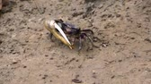 closeup of a male fiddler crab walking through the sand, crab with a large claw, tropical crustacean specie Stok Video