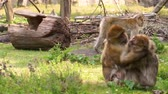 barbary macaque couple hugging each other and making funny faces, social primate behavior, endangered animal specie from Africa Стоковые видеозаписи