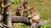 ohrožený : group of barbary macaques together, social animal structures, endangered animal specie from Africa