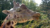 giraffe : closeup of the face of a rothschilds giraffe eating leaves from a branch, animal feeding and care, endangered animal specie from africa