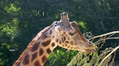 zsiráf : Rothschilds giraffe eating leaves from a branch, zoo animal feeding, Endangered animal specie from Africa Stock mozgókép