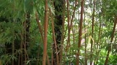 germogli : Bamboo forest with many stems and leaves, nature background video, Asian Garden foliage