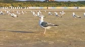 mew : closeup of a seagull preening its feathers, flock of seagulls together on the beach, common and invasive bird specie from Europe Stock Footage