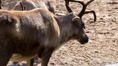 cervidae : Closeup of a reindeer standing at the water side then walking fits another reindeer, tropical animal specie from America Stock Footage