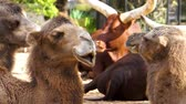 rágás : closeup of the face of a camel moving its lips, funny and typical animal behavior