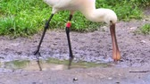 waterbird : Eurasian spoonbill bird wading in the mudflats in closeup, common bird specie from Eurasia
