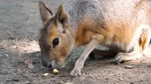 coulis : closeup of a patagonian mara eating a nut, the face of a large cavy, near threatened rodent specie from America
