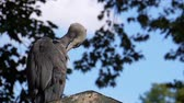 jellegzetes : closeup of a gray heron sitting on a roof top and preening its feathers, common bird specie from Eurasia