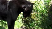 пантеры : black jaguar walking in a forest scenery, weird spotted wild cat, Near endangered animal specie from America
