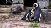 coulis : african penguin couple preening each other, intimate and social bird behavior, Endangered animal specie from Africa
